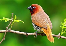 Scaly Breasted Munia (Lonchura punctulata) Photograph By Shantanu Kuveskar.jpg