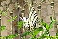 Scarce swallowtail (MakGi) (35555936900).jpg