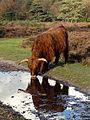 Schotse hooglander op de Zuiderheide, Noord-Holland 4.jpg