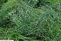 Scirpus cernuus 2zz.jpg
