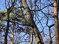 Sciurus in Filyovsky park.JPG