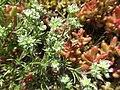 Scleranthus perennis inflorescence (25).jpg