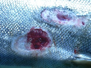 English: Sea lamprey wounds (Petromyzon marinu...