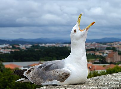Seagull July 2014-2.jpg