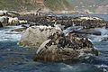 Seals at Hout Bay (6649527395).jpg