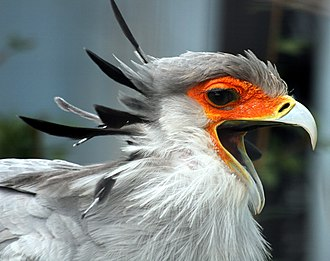 Secretarybird - The secretarybird has distinct black feathers protruding from behind its head.