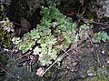 Sedum cepaea plant (20).jpg