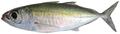 Selar crumenophthalmus - pone.0010676.g079.png