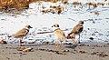 Semipalmated plover (Charadrius).jpg