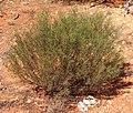 Senna artemisioides spp filifolia.jpg
