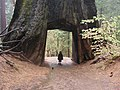 Sequoia geant.jpg