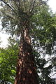 Sequoiadendron giganteum Bourglinster 2012-08.jpg