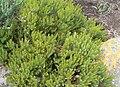 Serruria aemula congesta - Strawberry Spiderhead - Kirstenbosch gardens.JPG