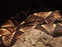 What is a SawScaled Viper with picture  wisegeekcom
