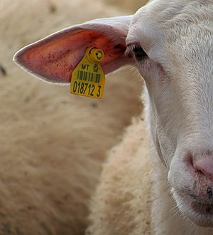 Ear tag - A sheep with an ear tag.