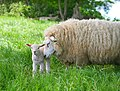 Sheep, Stodmarsh 2.jpg
