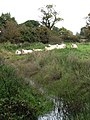 Sheep by a drainage ditch - geograph.org.uk - 1012365.jpg