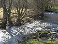 Sheep drinking from the Bovey - geograph.org.uk - 1761840.jpg