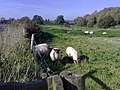 Sheep grazing - geograph.org.uk - 1003069.jpg