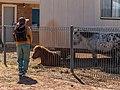 Shetland ponies Burke St Boulia Central Western Queensland P1080231.jpg