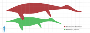 Shastasaurus - Size of Shonisaurus popularis (green) and S. sikanniensis (red), a possible species of Shastasaurus, compared with a human