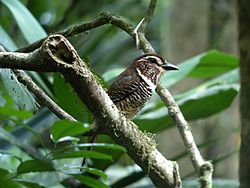 Short-legged Ground-roller, Masoala National Park, Madagascar 2.jpg