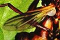 Sicus.ferrugineus.wing.detail.jpg