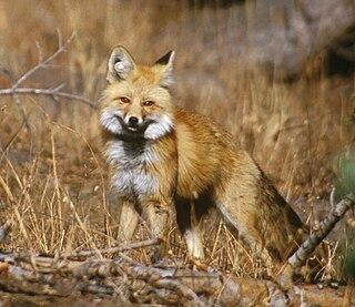 Sierra Nevada red fox subspecies of mammal
