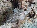 Signalfin sandgoby (Fusigobius signipinnis) (47058270222).jpg