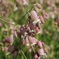 Silene vulgaris-IMG 3644.jpg