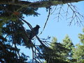Silhouette of a Steller's Jay near Glacier Point in Yosemite National Park.JPG