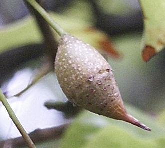 Styracaceae - Image: Sinojackia rehderiana fruit