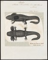 Siredon humboldtii - 1700-1880 - Print - Iconographia Zoologica - Special Collections University of Amsterdam - UBA01 IZ11400147.tif