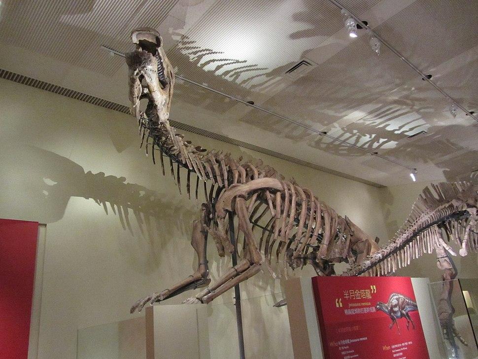 Skeleton of Jintasaurus meniscus