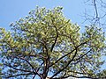 Sky Tree Potts Branch Trail Umstead SP 5538 (3347273864).jpg