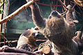 Sloth Climbing in Front of Another (17915910338).jpg