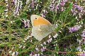 Small heath (NH) (8120450682).jpg
