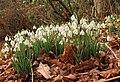 Smeaton snowdrops - geograph.org.uk - 684310.jpg