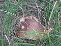 Snail eats mushroom.JPG