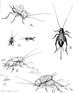 Field cricket - Common black cricket, Gryllus assimilis
