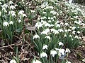 Snowdrops, close-up - geograph.org.uk - 337213.jpg