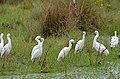 Snowy Egrets (Egretta thula) (29069924606).jpg