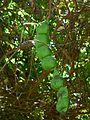 Snuff Box Sea Bean (Entada rheedii) (7852686012).jpg