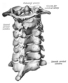Cervical vertebrae seen from the back