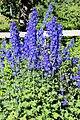 Sofiero (Helsingborg), delphinium in flower garden-2.JPG