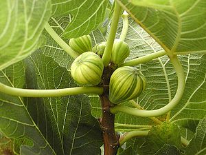 Some Figs (Ficus carica)