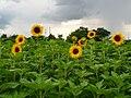 Sonnenblumenfeld vor einem Gewitter.JPG