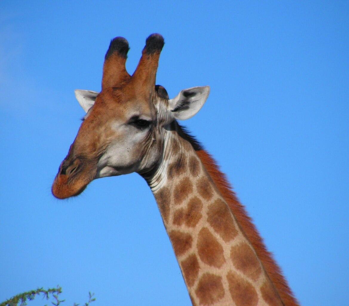 File South African Giraffe  Head Jpg