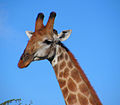 South African Giraffe, head.jpg