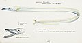 Southern Pacific fishes illustrations by F.E. Clarke 72.jpg